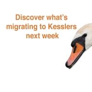 Swan migrating ad